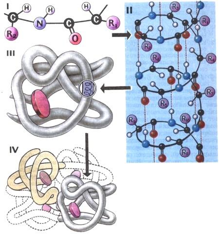 Схема строения белковой