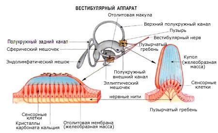 Как лечить вестибулярный аппарат в домашних
