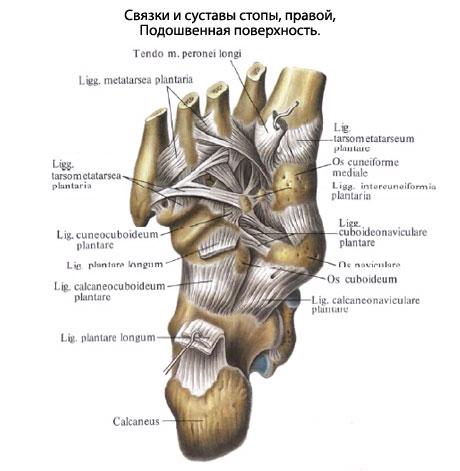 Межплюсневые суставы стопы история болезни ложный сустав